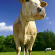 Cattle on meadow — Stock Photo #41024021