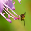 Hover fly on rhododendron — Stock Photo #41026359