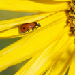 Ladybug on a sunflower — Stock Photo #41032725