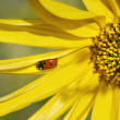 Ladybug on a sunflower — Stock Photo