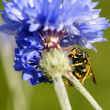 Wasp on cornflower — Stock Photo #41033927