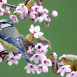 Blue tit on a blossoming twig — Stock Photo
