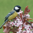 Great tit on a blossoming twig — Stock Photo