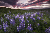 Lupine Field — Stock Photo