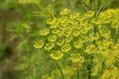 Macro of green dill with many flowers and stamen — Stock Photo