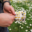 Human hands picking lovely daisy — Stock Photo #48779925
