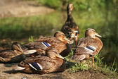 Ducks in rest — Stock Photo