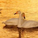 Постер, плакат: Sunset on the bright Swan Lake in winter