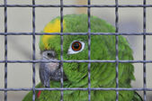 Parrot behind a lattice — Stock Photo