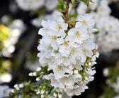 Blossom cherry tree — Stock Photo