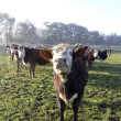 Stock Photo: Cows in Paddock