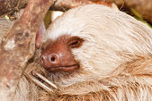 Two-toed sloth sleeping in tree — Foto Stock