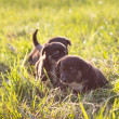 Little puppies running on grass, soft light — Stock Photo