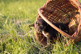 Little puppy standing in the basket, outdoor shot — Stock Photo
