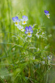 Wildflowers viola tricolor growing in thick grass — Stock Photo