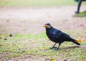 Japan crow — Stock Photo
