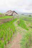 Path on rice plantation ridge — Stock Photo