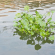 Clump of water hyacinth floating in a canal — Stock Photo