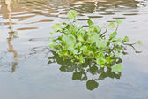 Clump of water hyacinth floating in a canal — Stockfoto