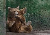Beautiful Brown bear in the Zoo — Stock Photo