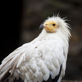 White vulture — Stock Photo