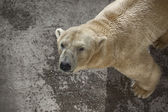 Polar bear on the concrete — Stock Photo
