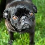 Pug dog — Stock Photo #40492559