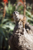 Meerkat sitting — Stock Photo