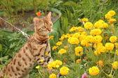 Bengal cat on walk — Stock Photo