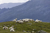 Sheep on a alpine mountain pasture — Stock Photo