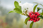 Snowcovered holly twig with berries — Stock Photo
