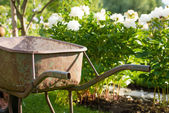 Rusty gardening wheel barrow in a garden — Stock Photo