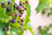 органический виноград, растущий в саду — Стоковое фото
