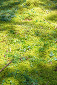 Mossy natural forest floor background — Stock Photo