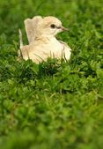 Collared Dove in the grass — Photo