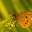 Ringlet butterfly ( Aphantopus hyperantus ) in evening light — Stock Photo #40632433