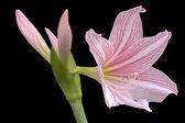 Hippeastrum johnsonii flowers — Stock Photo