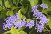 Duranta Erecta flowers — Foto Stock