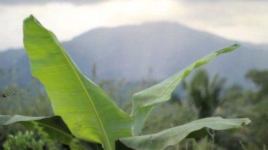 Hojas de plátano y montaña — Vídeo de stock