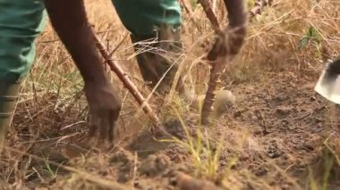 Harvesting cassava with hoe. — Stock Video