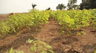 Gliding shot through cassava plants. — Video Stock