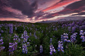 Icelandic lupine fields — Stockfoto