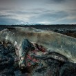 The body of a dead sperm whale in Iceland — Stock Photo #41918845