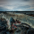 The body of a dead sperm whale in Iceland — Stock Photo