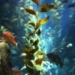 Fish drift through kelp in Pacific Kelp Forest — Stock Video #41032843