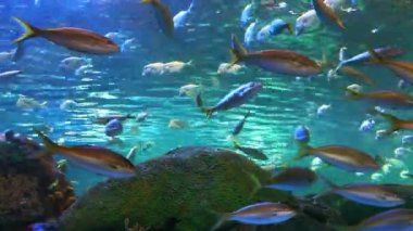 A view of school of Yellow-tailed Snapper — Stock video