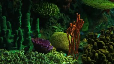 Bright Tropical Fish swim in colorful coral growths. — Stock Video