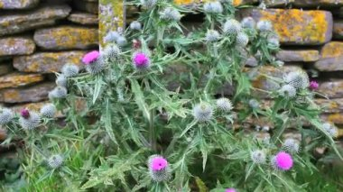 Onopordum acanthium (Cotton thistle, Scotch thistle) — Stock video