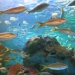 Yellowtailed Snapper and other tropical fish in a coral reef — Stock Video #41792603