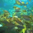 Colorful coral encrusted reefs with large numbers of swimming tropical fish — Stock Video #42132409